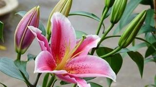 Những lưu ý khi trồng hoa ly trong và sau Tết