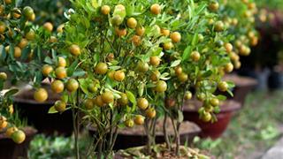 Hướng dẫn cách trồng và chăm sóc cây quất sau Tết tại nhà đơn giản