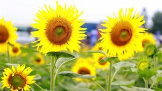 Chọn thời điểm trồng hoa hướng dương để nở đúng Tết