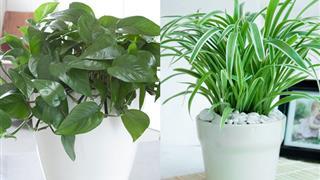 Điểm danh 15 loại cây trồng trong nhà tốt cho sức khỏe và hút tài lộc